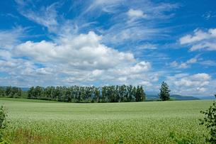 白い花が咲いたソバ畑と夏の空の写真素材 [FYI01182497]