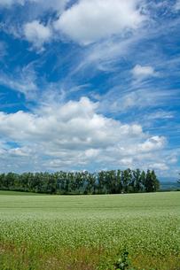 白い花が咲いたソバ畑と夏の空の写真素材 [FYI01182498]