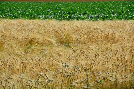 刈り取り間近のムギ畑の写真素材 [FYI01182505]