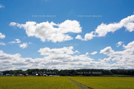 色づき始めた稲と青空の写真素材 [FYI01182507]