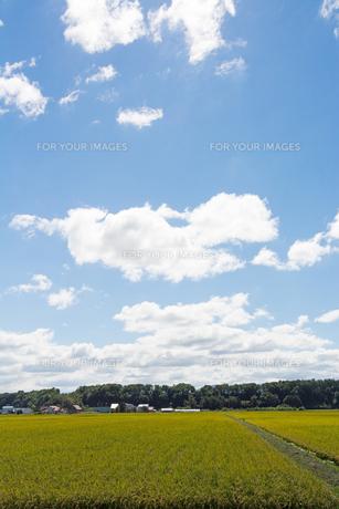 色づき始めた稲と青空の写真素材 [FYI01182508]