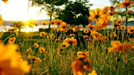 花咲く琵琶湖畔の夕焼けの写真素材 [FYI01182650]