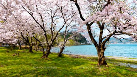 桜咲く海津大崎の写真素材 [FYI01182955]