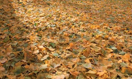 いちょうの落ち葉の写真素材 [FYI01183019]
