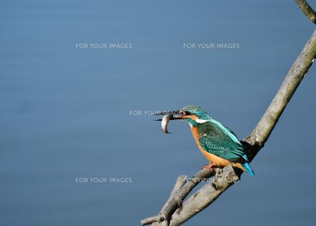 魚を咥えたカワセミの写真素材 [FYI01183121]