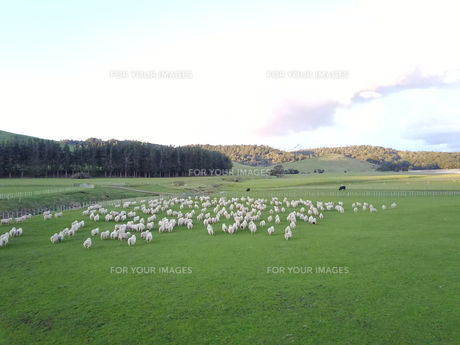 New Zealand 牧場の写真素材 [FYI01183130]