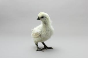 烏骨鶏のひよこ,白いシルキーな鳥の写真素材 [FYI01183288]