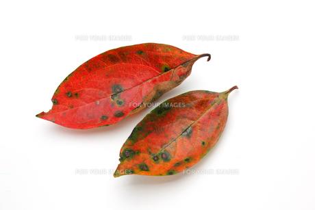 柿の葉,落ち葉の写真素材 [FYI01183297]