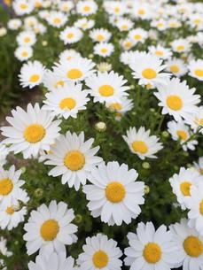 ノースポールの花の写真素材 [FYI01183352]
