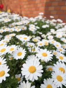 ノースポールの花の写真素材 [FYI01183353]