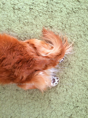 絨毯の上で足を伸ばして寝る犬の写真素材 [FYI01183436]