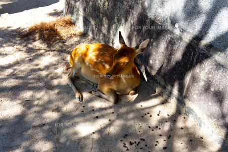 木陰でねむる子鹿の写真素材 [FYI01183469]