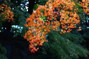 緑の庭園を鮮やかに彩る紅葉の写真素材 [FYI01183502]