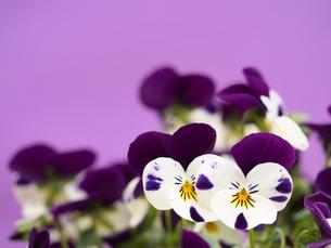 ビオラの花の写真素材 [FYI01183623]