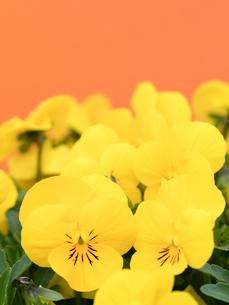 ビオラの花の写真素材 [FYI01183633]