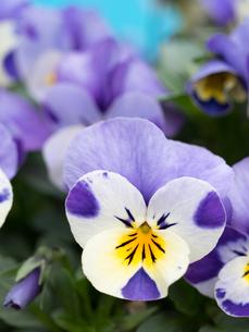 ビオラの花の写真素材 [FYI01183641]