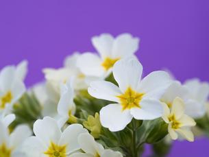 プリムラの花の写真素材 [FYI01183647]
