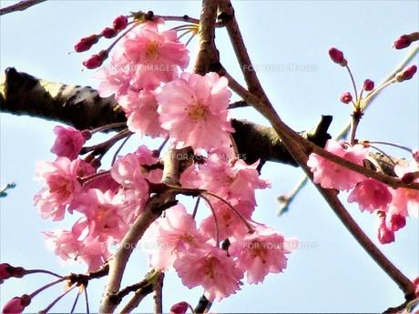長瀞の桜の道の写真素材 [FYI01183769]