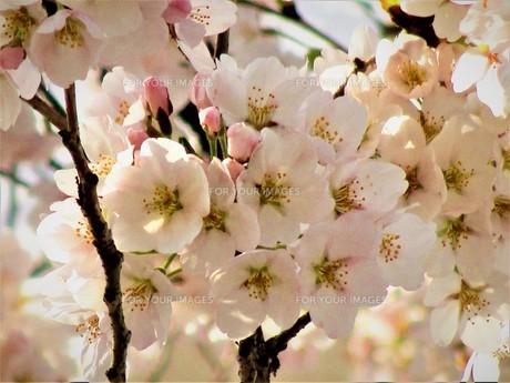 長瀞の桜の道の写真素材 [FYI01183771]