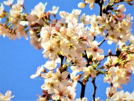 長瀞の桜の道の写真素材 [FYI01183772]