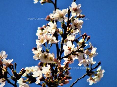 長瀞の桜の道の写真素材 [FYI01183773]