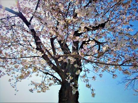 長瀞の桜の道の写真素材 [FYI01183774]