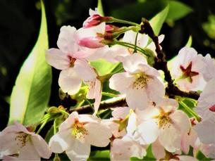 長瀞の桜の道の写真素材 [FYI01183775]