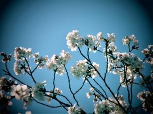長瀞の桜の道の写真素材 [FYI01183776]