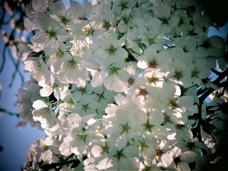 長瀞の桜の道の写真素材 [FYI01183777]