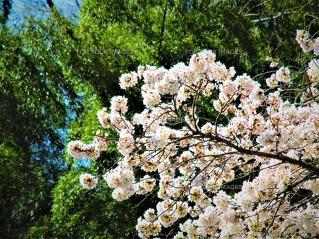 長瀞の桜の道の写真素材 [FYI01183778]