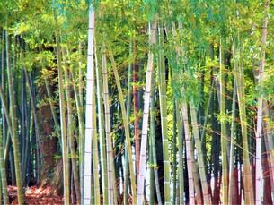 長瀞の桜の道の写真素材 [FYI01183779]