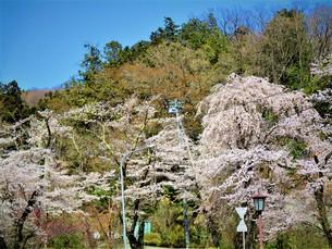 宝登山神社の桜の写真素材 [FYI01183783]