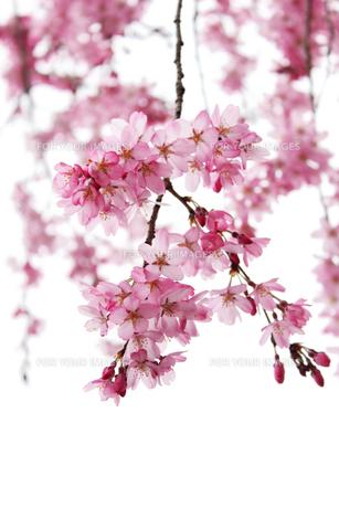 桜,背景の写真素材 [FYI01184057]