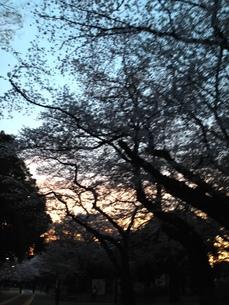 夜桜の写真素材 [FYI01184139]