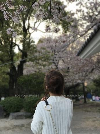 花見の写真素材 [FYI01184149]