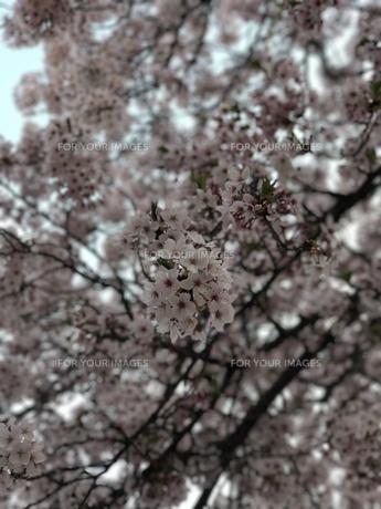 桜の写真素材 [FYI01184150]
