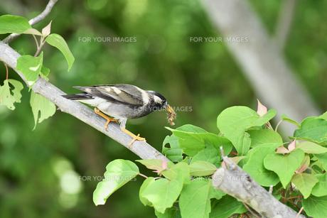 ムクドリの捕食の写真素材 [FYI01184202]