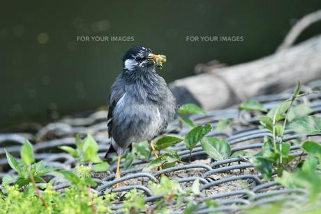 ムクドリの捕食の写真素材 [FYI01184203]