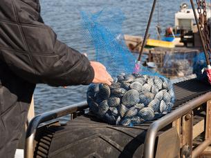 ホンビノスガイの水揚げの写真素材 [FYI01184426]
