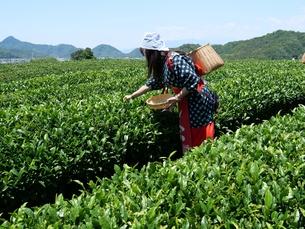 静岡の茶摘みの写真素材 [FYI01184473]
