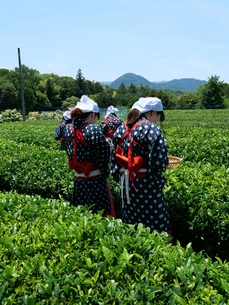 静岡の茶摘みの写真素材 [FYI01184474]