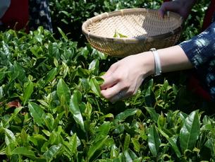 静岡の茶摘みの写真素材 [FYI01184475]