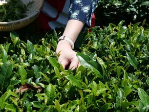 静岡の茶摘みの写真素材 [FYI01184476]