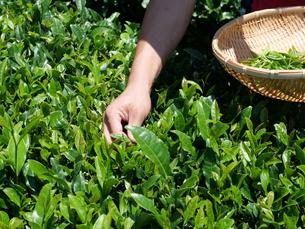 静岡の茶摘みの写真素材 [FYI01184477]