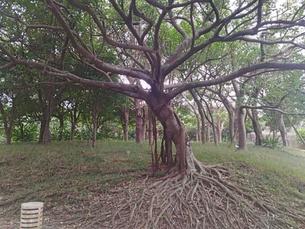 大きく広がる木の写真素材 [FYI01184488]