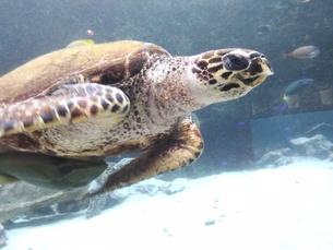 泳ぐ亀の写真素材 [FYI01184492]
