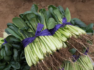 収穫したコマツナの写真素材 [FYI01184576]