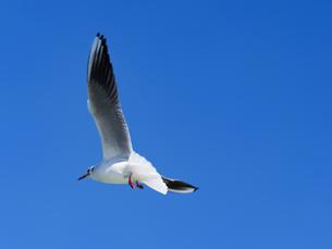 青空を飛ぶカモメの写真素材 [FYI01184636]