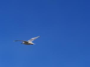 青空を飛ぶカモメの写真素材 [FYI01184641]