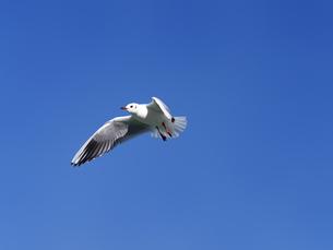 青空を飛ぶカモメの写真素材 [FYI01184644]